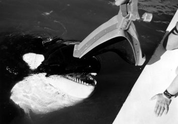 Ahab, a 5,500-pound killer whale, accepts a grabber device from his trainer during the Deep Ops project. The device is used for deep ocean ordnance recovery.