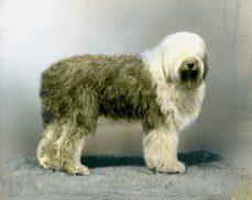 Old English Sheep Dog (17-HD-1-Q002)