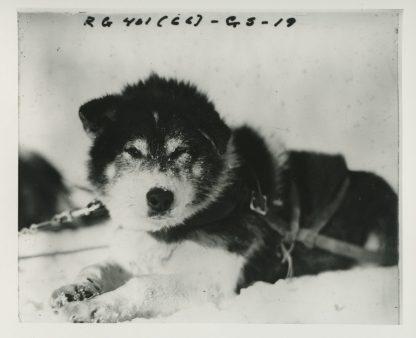 Sled dog. Local identifier: XEJD-DE-06-05-21