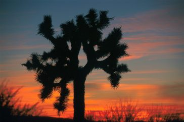 """Local ID: 330-CFD-DF-SD-02-07470 """"Though it doesn't provide much shade, the Joshua Tree looks lovely in the setting sun at Edwards AFB. Airman Magazine's article High-desert Hideaway by Master Sergeant Louis Arana-Barradas describes life on the desert base by Air Force members stationed there. The base has made major improvements in quality life issues such as housing, gymnasium, restaurants, off-duty education opportunities and recreation. (Airman Magazine/July 1999)"""""""