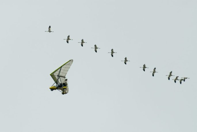 Whooping cranes arrive in Florida with their Ultra-lite guides.