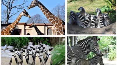 Giraffe, zebre, pinguini e lemuri