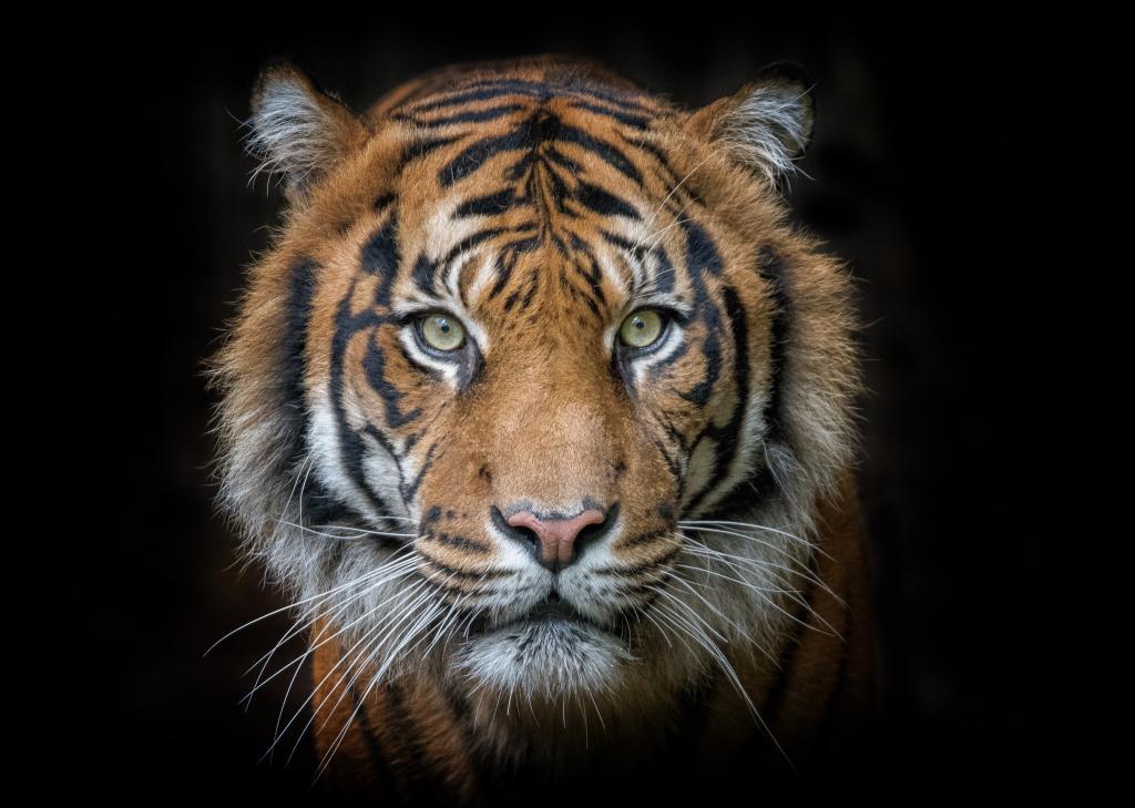 肖像,老虎,捕食者,臉,眼睛,高清圖片-純色壁紙