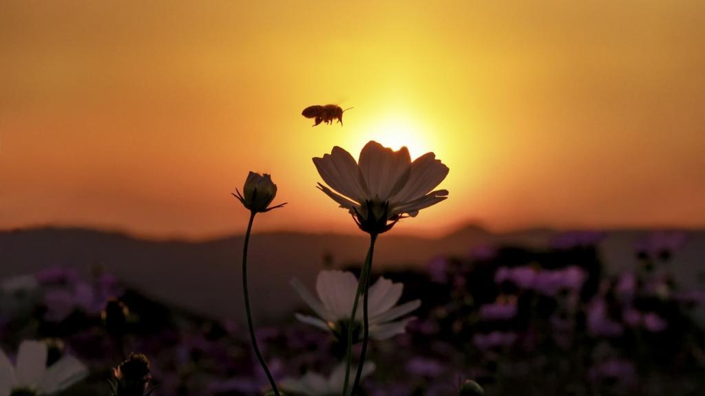 1280x800 Fall Wallpaper 蜜蜂采蜜醉花丛 高清图片 动物壁纸 回车桌面