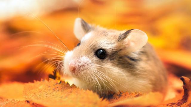 可愛的小倉鼠,高清圖片,動物壁紙-回車桌面