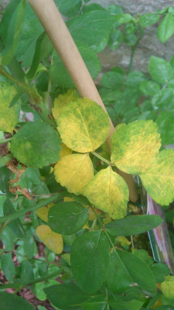 HILFE frisch gepflanzte Jasmina bekommt von unten