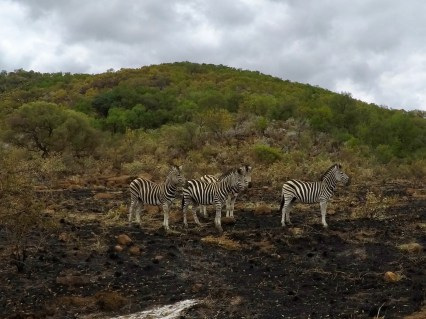 Zebras at Pilanesberg