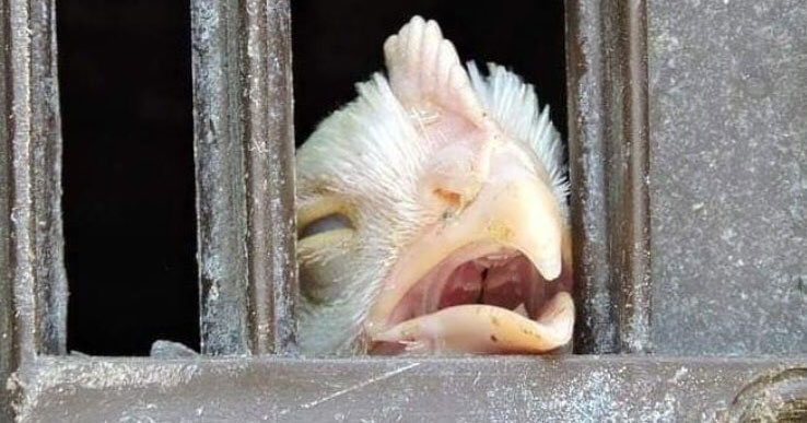 Imprisoned chicken with eyes closed