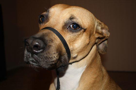 Jinx the Dog wearing Gentle Leader Harness
