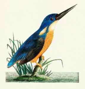 kingfisher bird illustration free to print