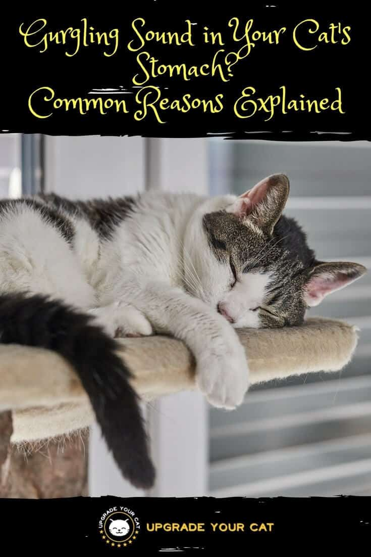 Cat Stomach Making Noises : stomach, making, noises, Stomach, Making, Gurgling, Noises, CatWalls