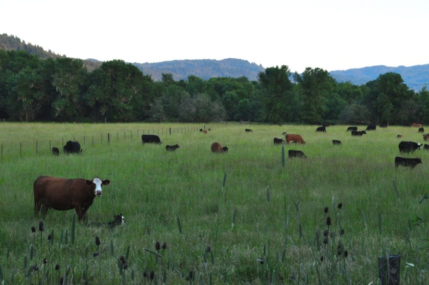 You can eat these organic, pastured cows at the pub in town. Farm to table they stay in-county.