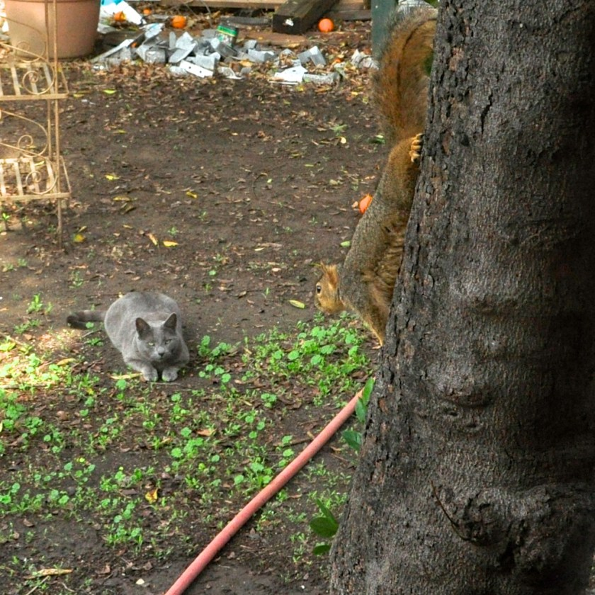 Feral Cat vs. Squirrel, over squatting rights