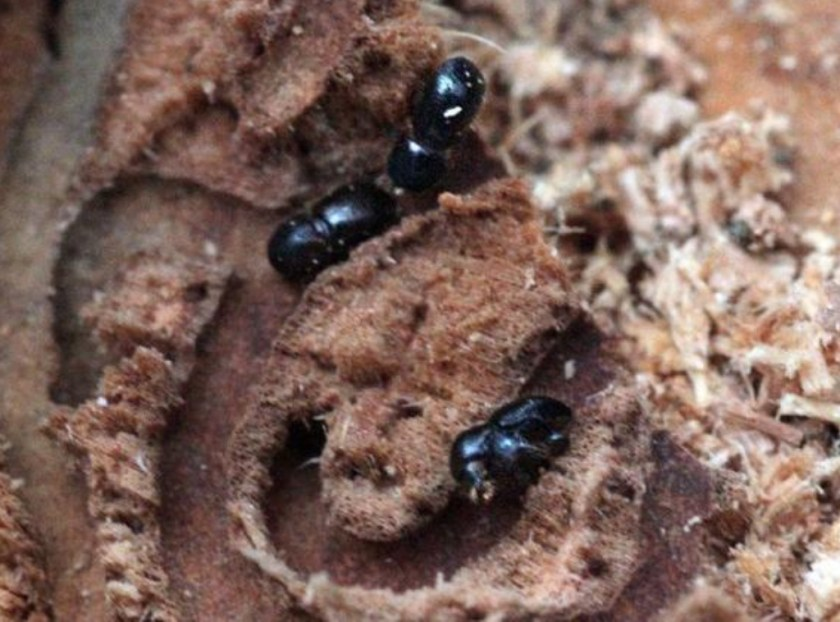la-sci-beetle-trees-what-to-do-20140529-002