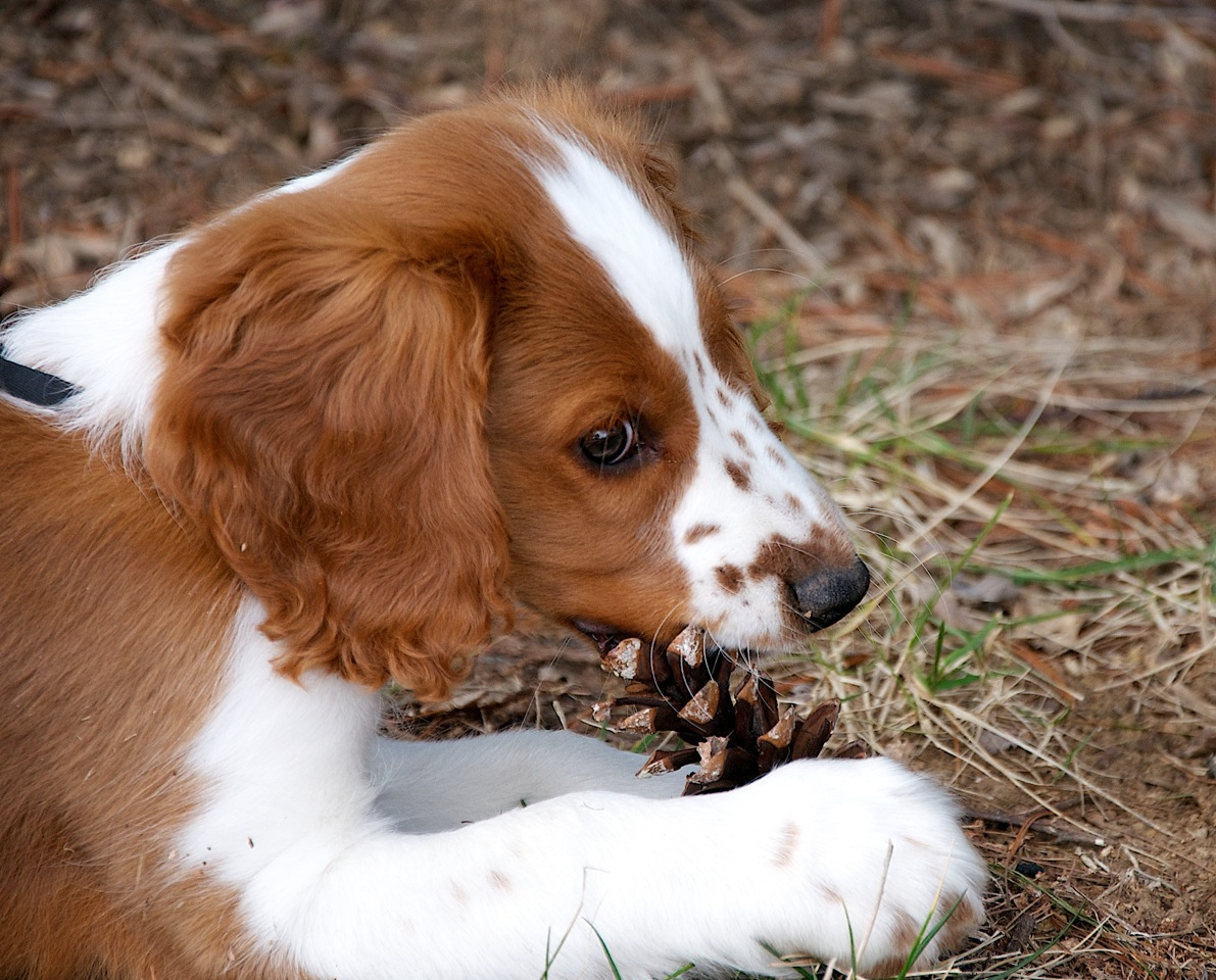 Fall Dog Wallpaper Upland Creek Springer Spaniels Our Puppies Upland