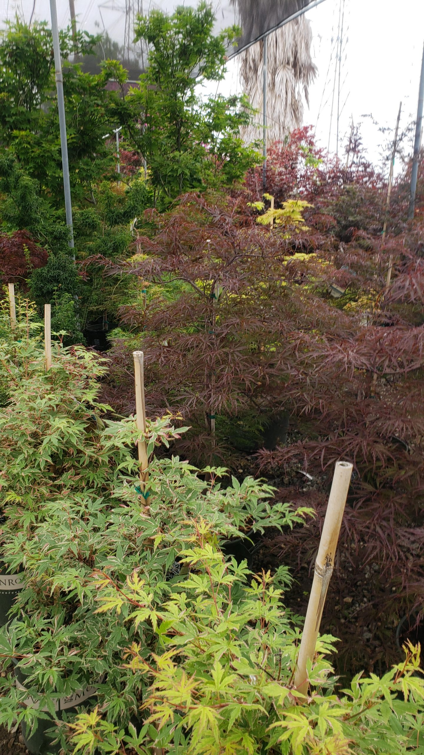 You are currently viewing JAPANESE MAPLE