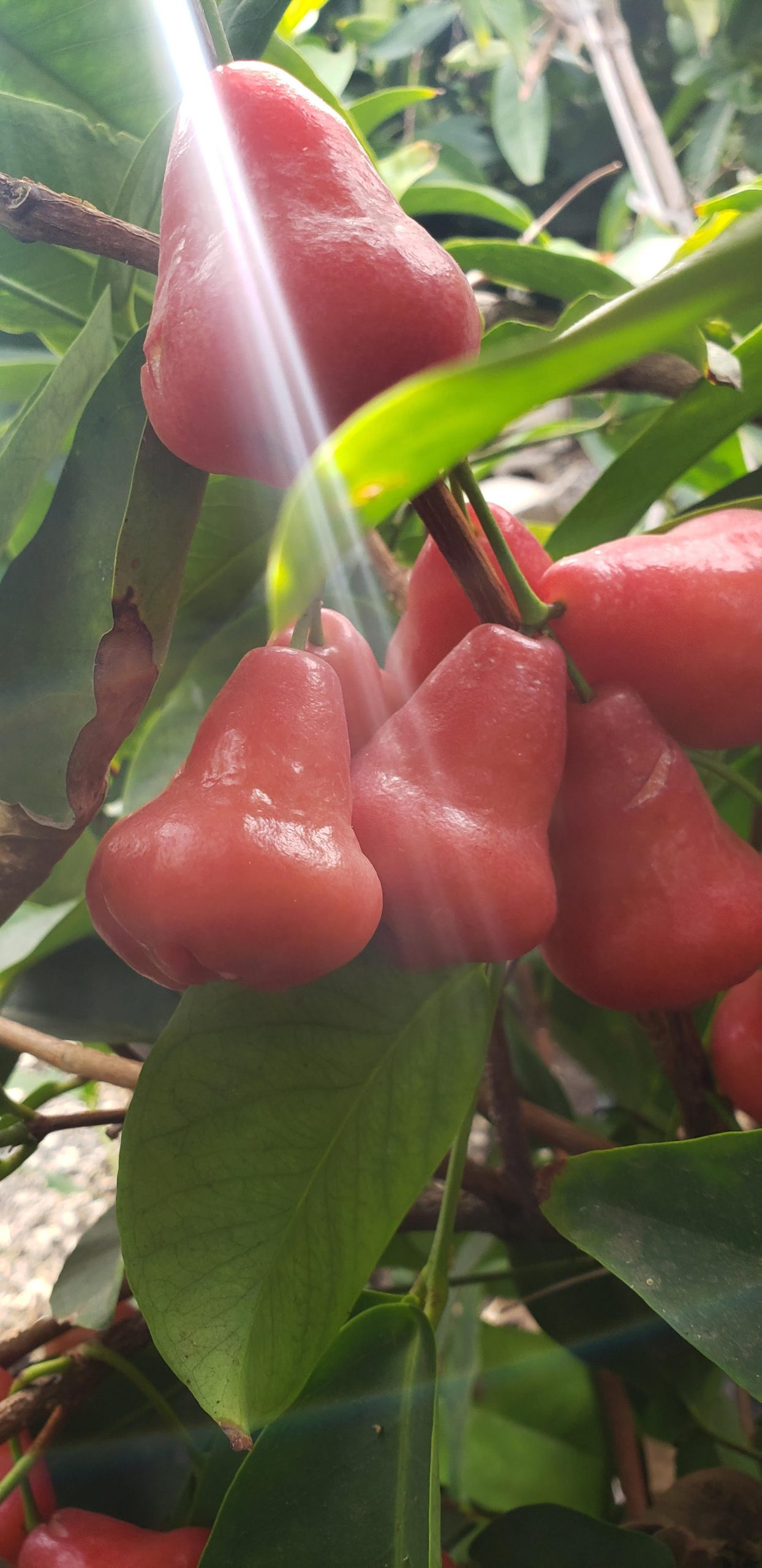 You are currently viewing FRUIT TREE AND TROPICAL FRUIT TREE