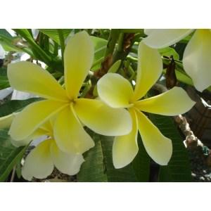 Plumeria Cutting Courtade Lemon (Special Price)