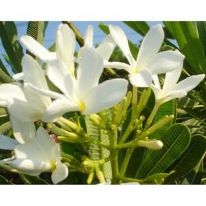 Plumeria Cutting Bahamaensis