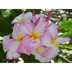 Plumeria Cutting Double Delight (Special price)