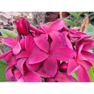 Plumeria Cutting Hilo Beauty