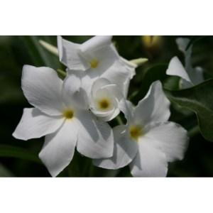Plumeria Cutting Bridal Bouquet (Pudica)