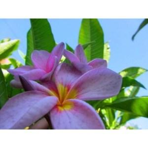 Plumeria Cutting Purple Rain