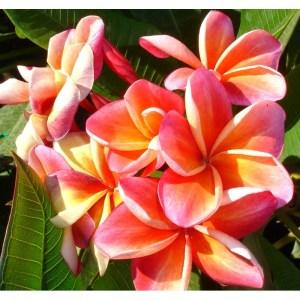 Plumeria Cutting Ceylon Beauty