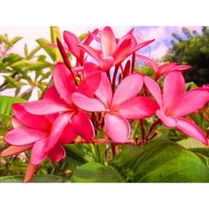 Plumeria Cutting Nova Pink