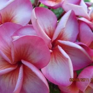 Plumeria Cutting Pink Diamond