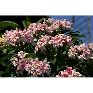 Plumeria Cutting Pink Frost (Special price)