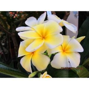 """Plumeria Cutting Singapore Yellow """"Mela Pa"""""""