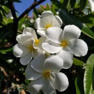Plumeria Cutting Hongkong (Special price)