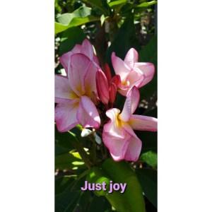 Plumeria Cutting Just Joy