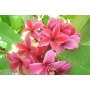 Plumeria Cutting Kauai Beauty