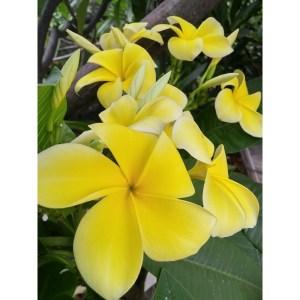 Plumeria Cutting Lemon Drop (Special Price)