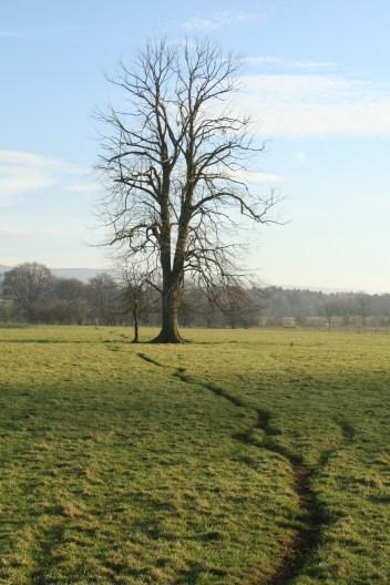 Sheep trod and winter tree