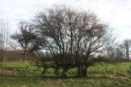 Remnants of plashed hedging