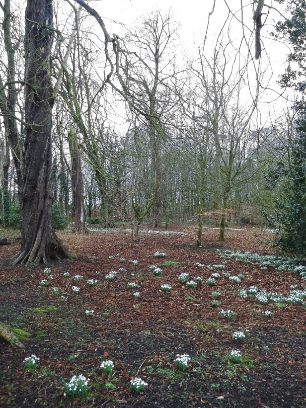 Clumps of snowdrops at Lytham Hall