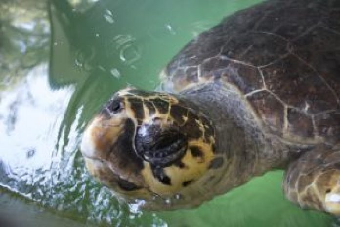包括蠵龟在内的热带动物很少从开阔的太平洋冒险进入这些冷水(pixabay)