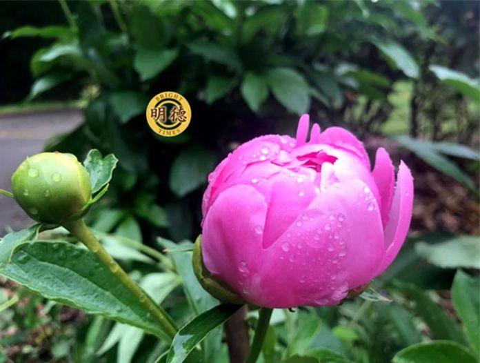 雨後的紅芍藥,一枝含苞待放,冠絕全園