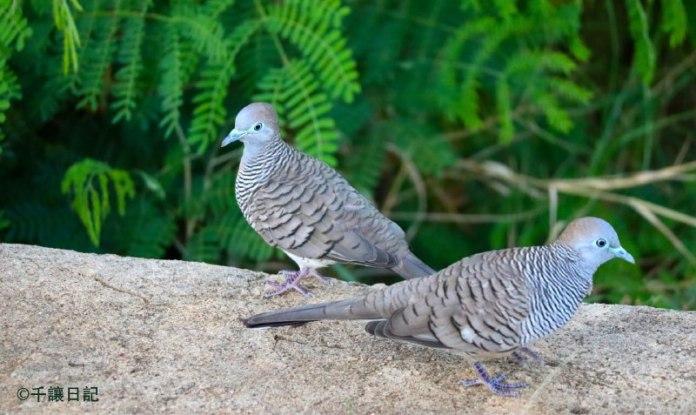 (圖:兩隻停靠在地面上的小斑鳩,相依為命。攝於2020年7月14日)