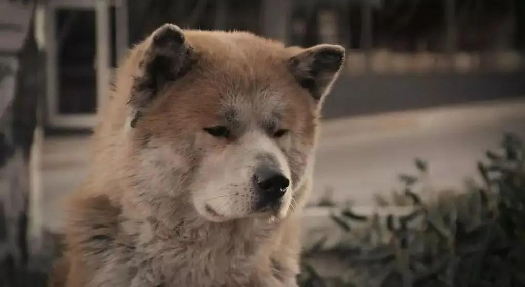 《忠犬八公的故事》 - 簡書