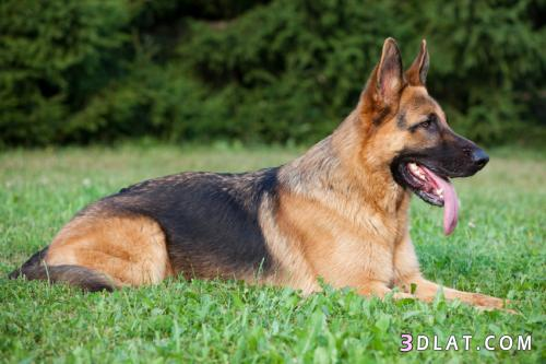 تعرف على أخطر و أشرس أنواع الكلاب ومعلومات عنهم بالتفصيل الممل 2019