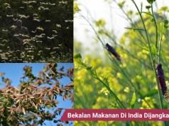 Jutaan belalang menyerang India