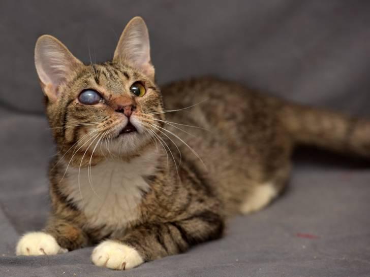 la cataracte chez le chat causes