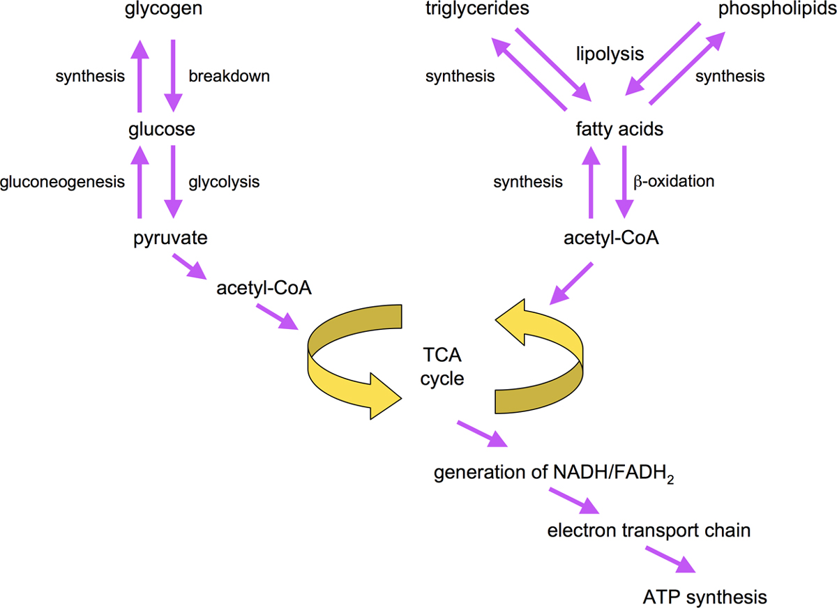 Metabolism Overview