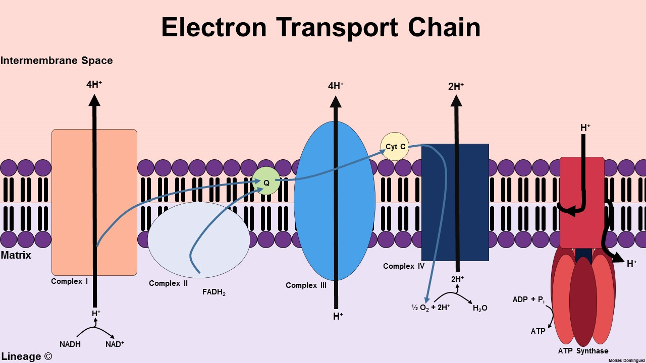 electron transport chain diagram for dummies 1999 gmc sierra 2500 wiring biochemistry medbullets step 1 couple energy stored in elect