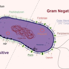 Bacteria Structure Diagram Wiring Dual Battery System Bacterial Structures Microbiology Medbullets Step 1 This Illustration Highlights The Basic In Gram Positive And Negative Lps