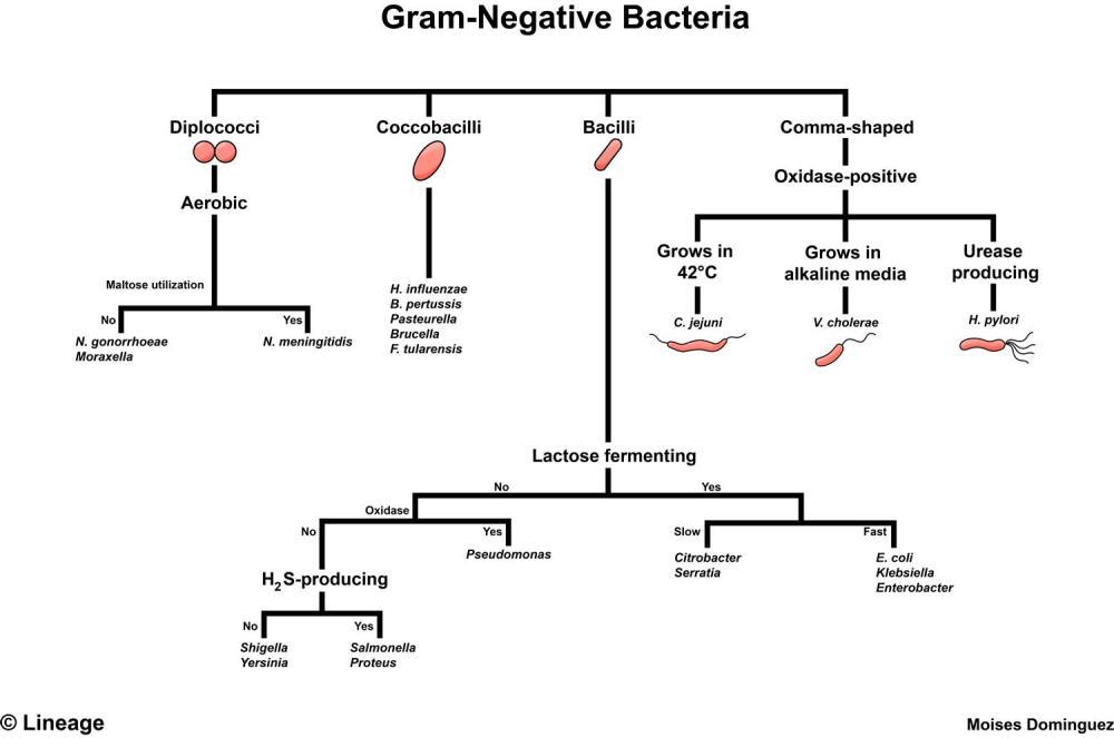 medium resolution of bordetella pertussis